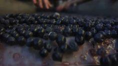 Harvest 2014 at Amici Cellars