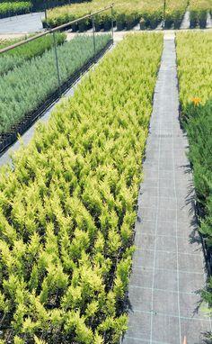 Cipresso Cupressus Macrocarpa Goldcrest - Vendita piante online