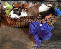 Snowshoe #Siamese #Cat N Toys by Michele Avanti