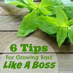 6 Tips For Growing Basil Like A Boss! - No green thumb required to grow healthy and luscious basil plants in your garden!