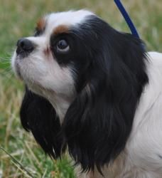 Fleetwood is an adoptable Cavalier King Charles Spaniel Dog in Newark, DE. Fleetwood is a sweet, shy 19lb, 5yr old Cavalier who came to us from a breeding situation. He is scared in new situations but...