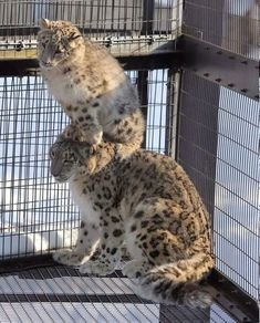 Fluffy Animals, Cute Animals, Big Cats, Cats And Kittens, Leopards, Snow Leopard, Having A Bad Day, Beautiful Creatures, Animal Kingdom