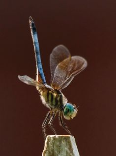 On any given summer day we watch many species of dragonfly in flight around the pond