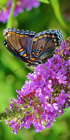 As a little girl I remember having a butterfly bush in my yard and it was covered in butterflies when ever it flowered. My dream garden would not be complete without a butterfly bush. Beautiful Bugs, Beautiful Butterflies, Amazing Nature, Beautiful Flowers, Flying Flowers, Butterflies Flying, Butterfly Kisses, Butterfly Flowers, Butterfly Bush