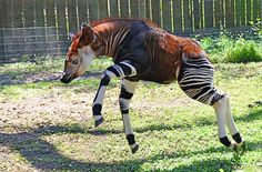 Okapi, apesar das listras de zebra, este mamífero é na verdade mais estreitamente relacionado às girafas.