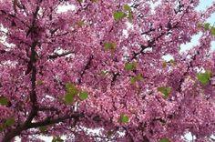Cercis siliquastrum (Judas Tree or Mediterranean Redbud or lovetree)