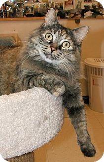 Atco, NJ - Domestic Longhair. Meet Isabella, a cat for adoption. http://www.adoptapet.com/pet/12850871-atco-new-jersey-cat