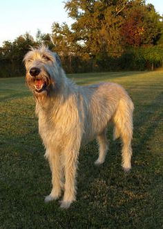 Irish Wolfhound Dogs| Irish Wolfhound Dog Breed Info & Pictures | petMD