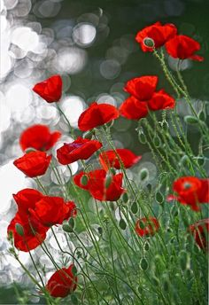 Avert, Manage, And Eliminate Black Mildew 32 Ideas Plants Photography Red Poppies
