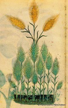 """CONSIGLI DAL MEDIOEVO: IL FARRO - """"Il farro è un genere di spelta o di frumento. Il suo succo spremuto con l'acqua di decozione e con il latte di mandorle, giova ai febbricitanti acuti e libera lo stomaco dagli umori viscosi"""". Dal codice """"Historia Plantarum"""", fine XIV secolo."""