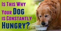 Hyperthyroidism in dogs means the glands are secreting too much hormone, and if left untreated, it can result in heart and kidney failure. http://healthypets.mercola.com/sites/healthypets/archive/2014/11/04/hyperthyroidism-dogs.aspx