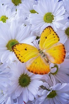 View top-quality stock photos of Golden Yellow Butterfly. Madame Butterfly, Butterfly Kisses, Butterfly Flowers, Beautiful Bugs, Beautiful Butterflies, Beautiful Flowers, Flying Flowers, Moth Caterpillar, Butterfly Pictures