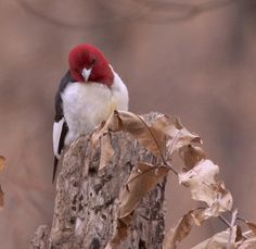 Tired looking redheaded woodpecker [Explored] (by Steve (huz001); over 216,000 Views, Thanks.)