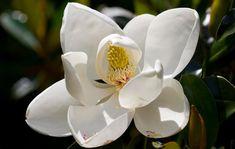 white magnolia flower Types Of White Flowers, Types Of Colours, English Country Gardens, Moon Garden, Magnolia Flower, Bulb Flowers, Container Flowers, White Gardens, Sugar Flowers