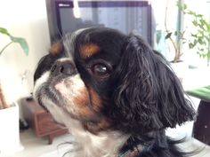 English Toy Spaniel with Bob hair♪