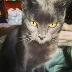 Lost Cat   Ser Pounce :: Chartreux / Russian Blue Mix    Bridgeport, CT, United States 06606 on September 18, 2016 (15:00 PM)  FlyerShare Submit  Contact      See on Map     HeLP ID: 1358458 Gender: Male   Age: Young Weight: Medium   Hair: Short Color: Grey / Black / Black Markings: Small chunk taken out of one ear, yellow eyes, small scar on his left side up close Spayed/Neutered: No Wearing ID Tag: No Medical: He has his shots and that little green tattoo they get on them w