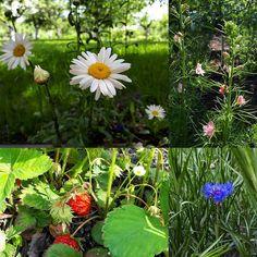 Любимый сад ❤ #весна #цветы #эмоции #гармония #красота #любовь #природа #клубника #ромашки #flowers #emotion #harmony #nature #beautiful #flowerslovers #love #spring #warm #sunny #pretty #photooftheday #amazing #тепло #camomile  #strawberry http://gelinshop.com/ipost/1523094000512576264/?code=BUjHex8FKsI