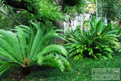Because of these factors, cycads are amongst the most sought-after and coveted plants for botanical gardens, public plantings, and private collectors. Description from junglemusic.net. I searched for this on bing.com/images