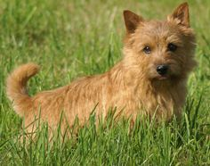 Norwich Terrier. Want one. Badly.