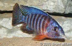 African Cichlids More African Cichlid Fish African