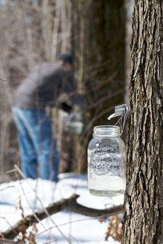 Making Maple Syrup: It's Sugaring Season!!! This can be done in your backyard!!!! Lawn trees produce more sap than those found in the woods!