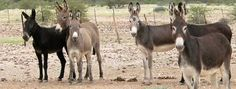 4 million donkeys are being slaughtered each year to make a product called donkey hide gelatin (Ejiao in Chinese). That's ten signatures on petition) Baby Donkey, The Donkey, Donkey Drawing, Farm Animals, Cute Animals, Trophy Hunting, Post Animal, Stop Animal Cruelty, Amazing Race