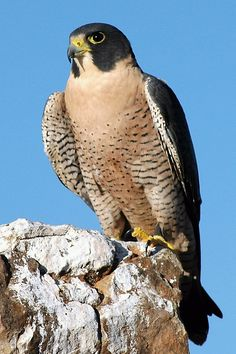 The peregrine falcon (Falco peregrinus) is the fastest living creature, reaching speeds of at least 124 mph and possibly as much as 168 mph when swooping from great heights during territorial displays or while catching prey birds in midair.