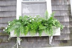 asparagus fern – A View into My Garden and my Point of View Window Box Plants, Window Box Flowers, Window Planter Boxes, Balcony Plants, Ivy Plants, Shade Plants, Flower Boxes, Planter Ideas, White Planter Boxes