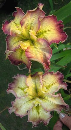 iris Frilled and Feathered. Gorgeous ruffled blooms of butter cream veined crimson with crimson edges. Style arms cream yellow with feathered tips. Falls -butter cream with crimson blushed edges. Lime green signals that blends into the cream yellow falls. - Rainbow Daylilies