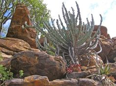 With around 6,356 different species of plants, around 2,439 of them are endemic to this area. The Succulent Karoo has an extreme amount of endemism for such an arid region – this includes the most succulent flora in the world. The flowering time for this area is breathtaking… here you can take a look at the scenery and what this hotspot is really like: Succulent Species, Arbour Day, Biomes, Cacti And Succulents, West Coast, Flora, Scenery, Biology, World