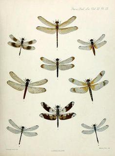 Dragonflies!    1. Cannacria batesii   2. Trithemis attenuata  3. Aethriamanta brevipennis  4. Untamo apicalis  5. Lyriothemis braueri  6. Deielia fasciata  7. Pseudoleon superbus  8. Nesoxenia cingulata  9. Anatya anomala    Transactions of the Zoological Society of London. 1890.