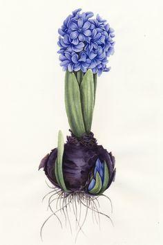botanical paintings of hyacint에 대한 이미지 검색결과