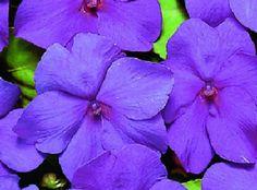 50 Impatiens Seeds Logro Violet Flower Seeds by nurseryseeds