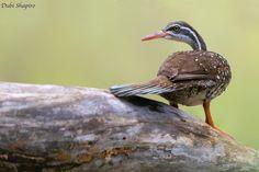 African Finfoot (Podica senegalensis) filmów, zdjęć i nagrań dźwiękowych | Collection internetowe ptaków | HBW Alive
