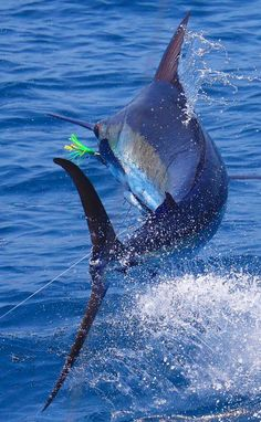 Deep Sea Fishing - Fishing Tips That May Improve Your Life! Sport Fishing, Fishing Tips, Fishing Lures, Fly Fishing, Rio, Marlin Fishing, Offshore Fishing, Deep Sea Fishing, Salt And Water