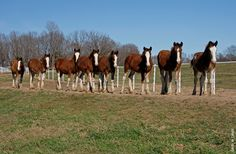 Budweiser Clydesdale at Warm Springs Ranch in Boonville, Missouri. Did you hear they were getting rid of these as their symbol? Big Horses, Horse Love, Black Horses, Most Beautiful Animals, Beautiful Horses, Pretty Horses, Clydesdale Horses Budweiser, Warm Springs Ranch, Budweiser Commercial