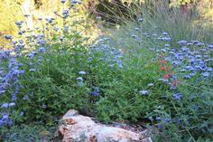 Gregg's mistflower (Conocilinium greggii)