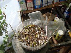 Desde el sur del mundo: Poda y esquejado de fucsias