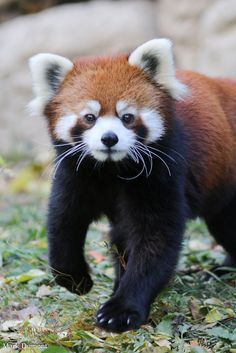 25 Things You Didn& Know About Red Pandas About two-thirds of their food intake is composed of bamboo The Animals, Nature Animals, Cute Baby Animals, Red Panda Cute, Panda Love, Panda Panda, Animal Kingdom, Baby Panda Bears, Baby Red Pandas