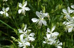 Prett white flowering Gaura, to contrast with the topiary balls, by HEDGE Garden Design & Nursery