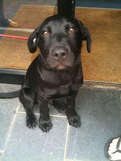 Labradane Puppy Duke At 3 Months Old Black Lab Great Dane Mix Duke Amp Daisy Pinterest Duke