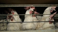 Some good news for the country's nearly 300 million egg-laying chickens.