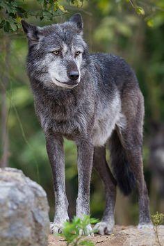 Timberwolf ~ Photo Sharing ~ Eriebnis Zoo, Hannover ~ Tierfotografie Niklas Mattern