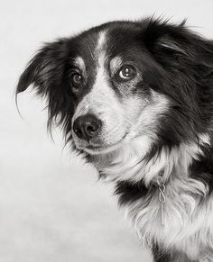 Border Collie - cute face...