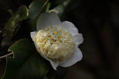 Camellia japonica Higo 'Chûjôshiro' (Japan, 1912)