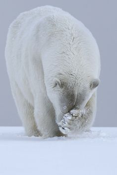 tulipnight: Polar Bear by Laura Keene - Animals - Tiere Animals And Pets, Baby Animals, Funny Animals, Cute Animals, Baby Giraffes, Wild Animals, Baby Polar Bears, Bear Photos, Love Bear