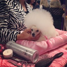 Toy Poodle at Winsterminster Dog Show   #chicpuppy