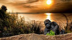 Gorilla am See (Thomas Stiemerling / Braunschweig / Niedersachsen , Deutschland) #Canon EOS 70D #animals #photo #nature