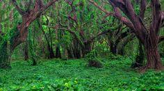 """Banyon Forest, Honula Bay, Maui, Hawaii""  #SunKuWriter Free Books http://sunkuwriter.com"