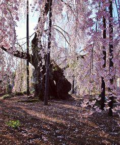 霊巌寺のしだれ桜 #sakura #CherryBlossom